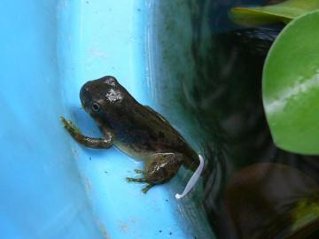 雨蛙の子供達 (5)