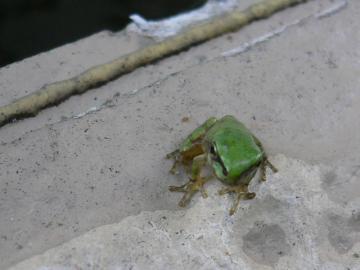 雨蛙の子供達 (4)
