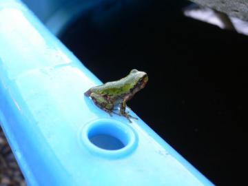雨蛙の子供達 (3)