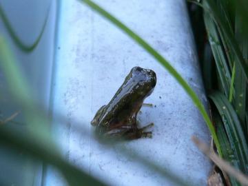 雨蛙の子供達 (1)