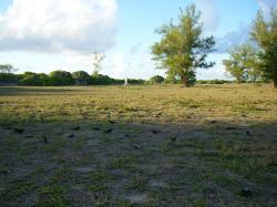 Scoty Tern Colony 1