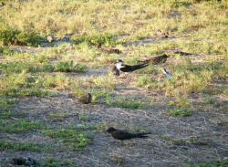Scoty Tern Colony 2