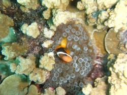 anemone fish guam 200910 1
