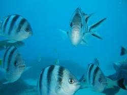 guam fish 200910 jet stream attack 3