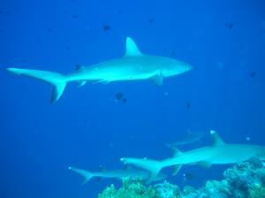 blue corner sharks