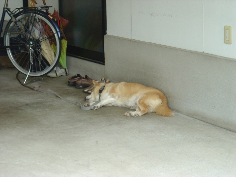 朝寝中のわんこ(2009.08.10)
