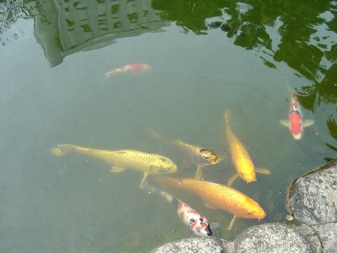 鯉さん(2009.09.23)