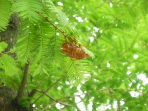 蝉の抜け殻 中国では漢方薬として使うとか・・・