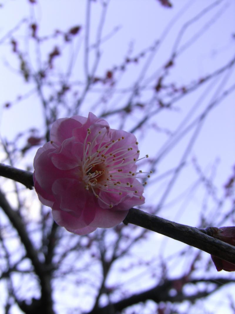 桜も綺麗ですが、梅も初春を彩る花です☆