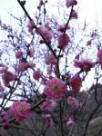 咲き始めの5分咲きといったところでしょうか・・・
