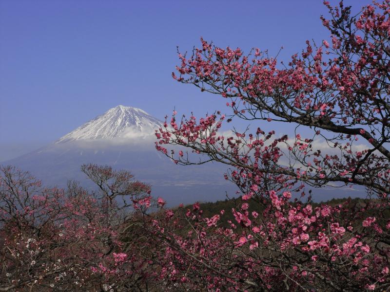 富士と紅梅のコントラスト