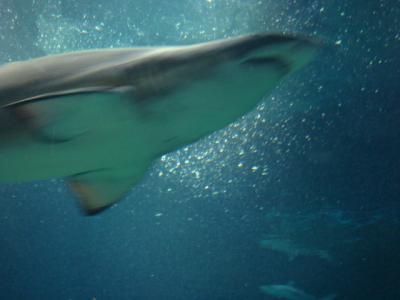 大きいサメ、その2・・・