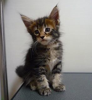 2011/メインクーン子猫-1