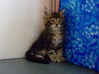 2011/メインクーン子猫-5