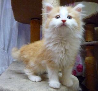 2011/5クリーム・ノル子猫