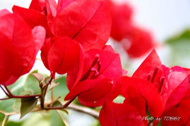 ブーゲンビレア3 赤花