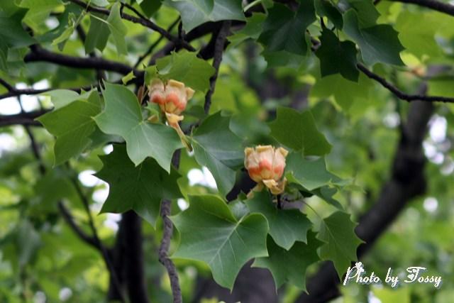 ユリノキの花1
