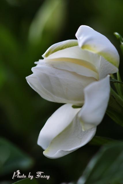 クチナシの花2 八重 咲きかけ