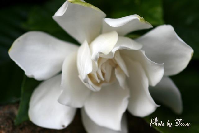 クチナシの花 八重 1