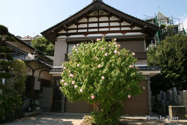 安養寺のフヨウ