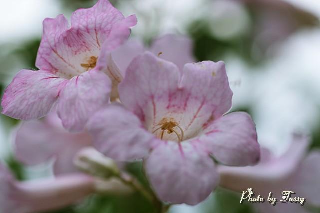 ピンクのノウゼンカズラ2