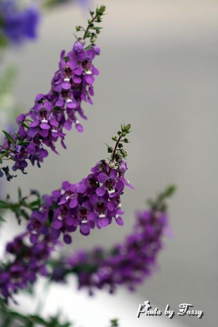 アンゲロニア 紫3