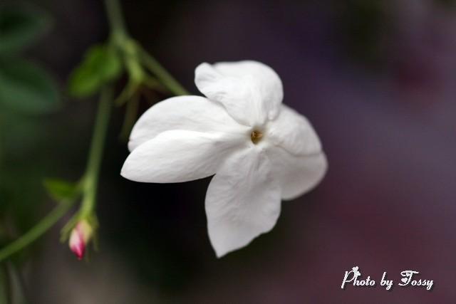 'ホワイトプリンセス' 花天月地 1