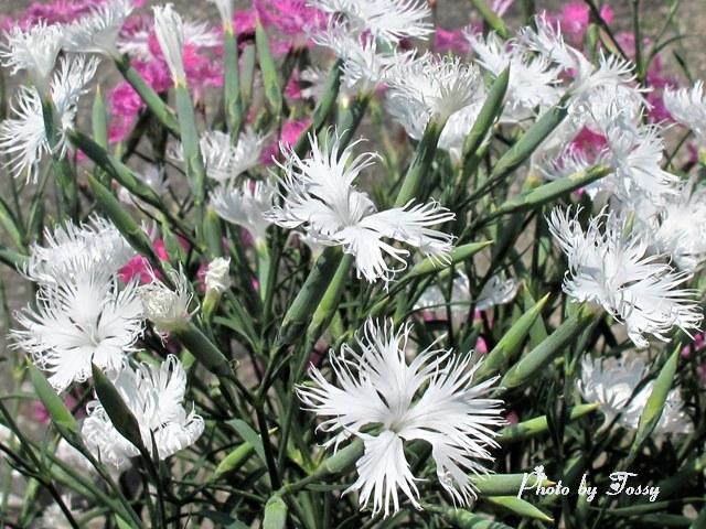 カワラナデシコ 白 ピンク