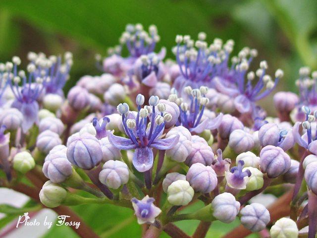 アジサイ 本当の花