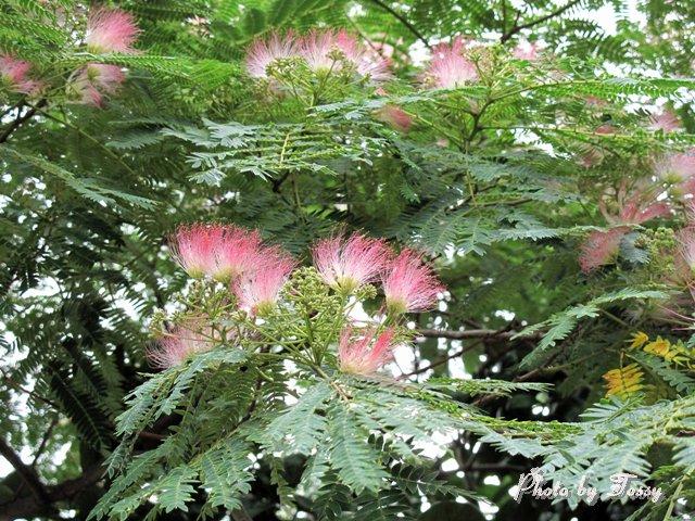 ネムノキの花4