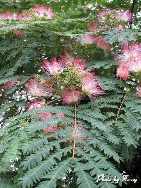 ネムノキの花3