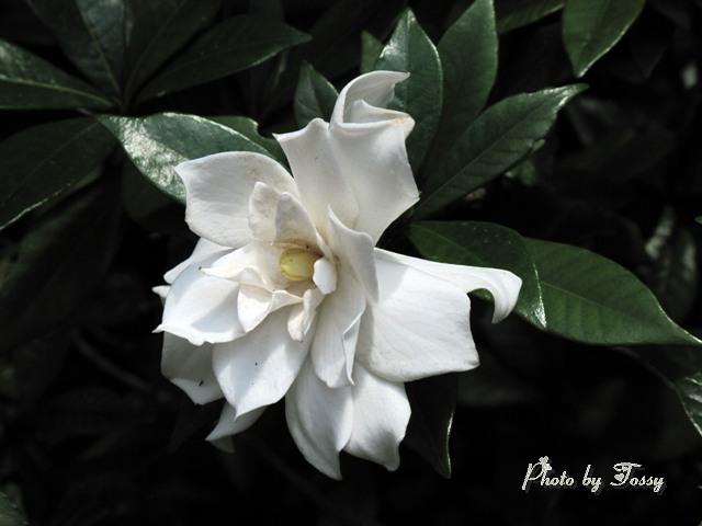クチナシの花4 八重
