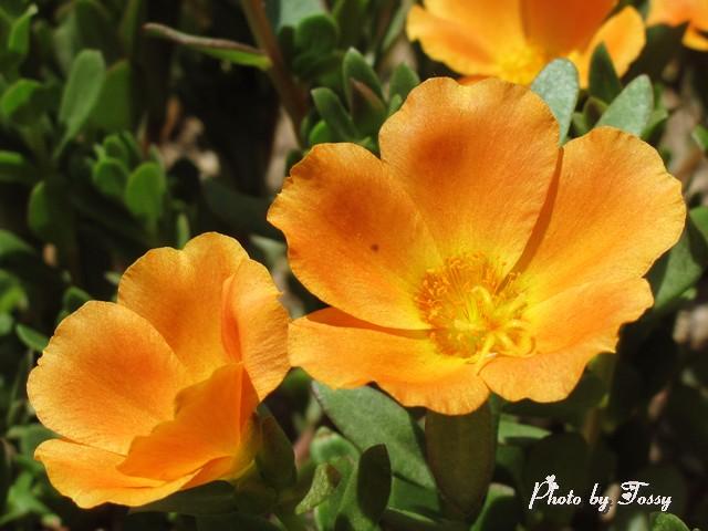 ポーチュラカ オレンジ
