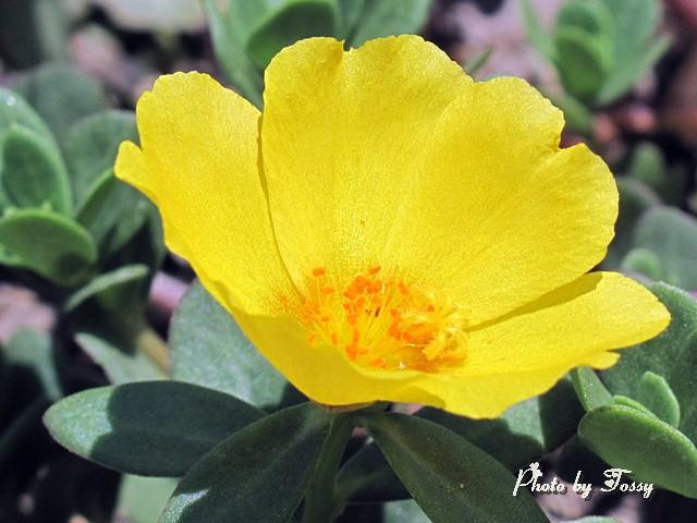 ポーチュラカ 黄色
