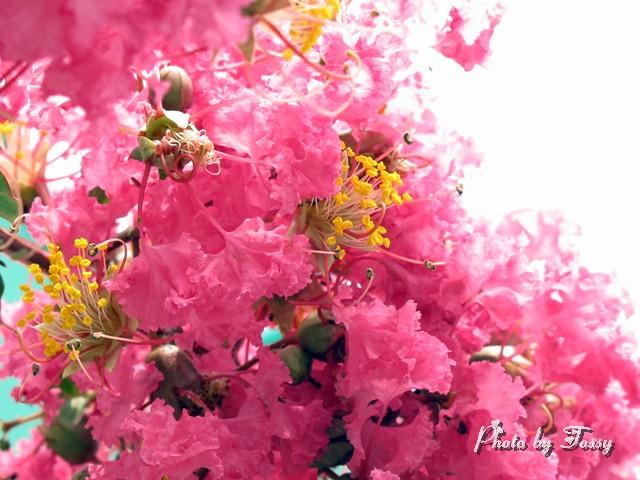 サルスベリ ピンク