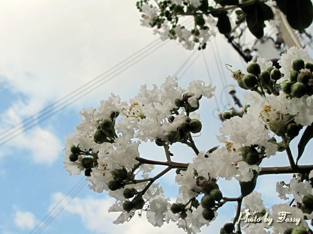 サルスベリ 白花3