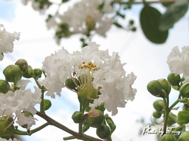 サルスベリ 白花