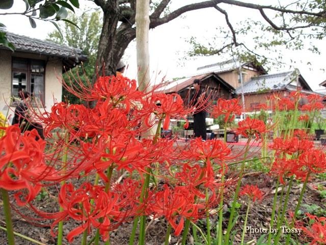 本陣屋敷跡のヒガンバナ