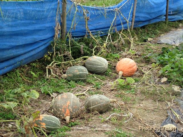 畑のかぼちゃ