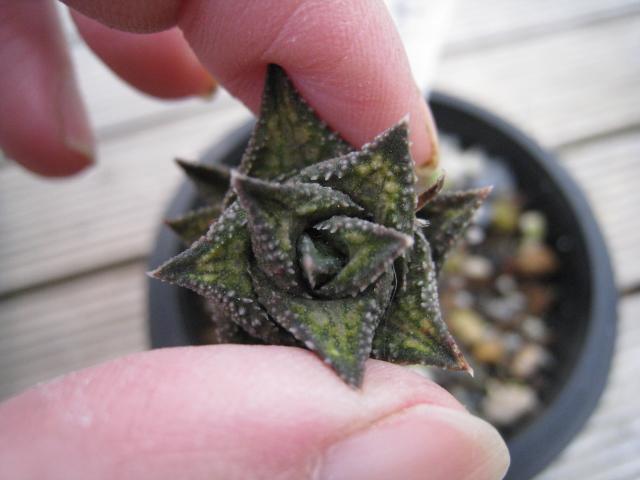 20110205venosa ssp.  granulata3