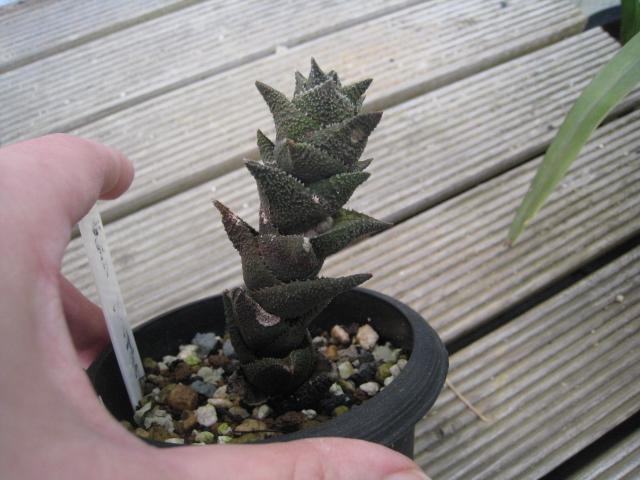 20110205venosa ssp.  granulata