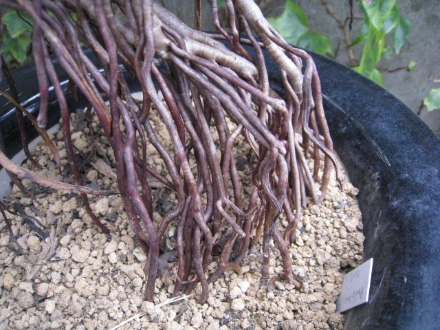 20110227ブルビネ frutescens2