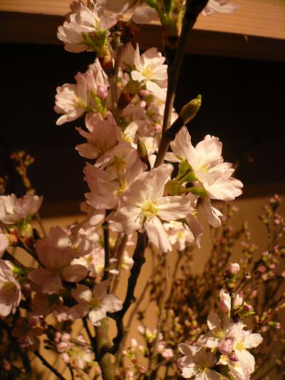 桜(啓翁桜)2