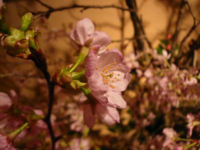 桜(陽光桜)1