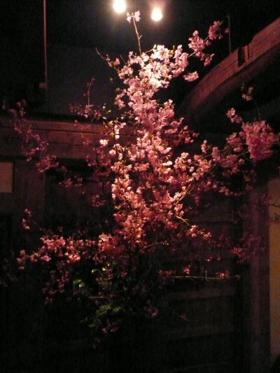 桜(修善寺桜)1
