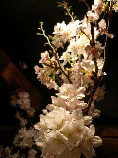 桜(染井吉野)3