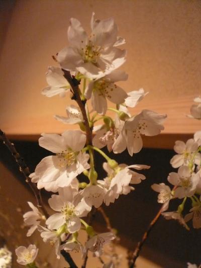 桜(彼岸桜)1