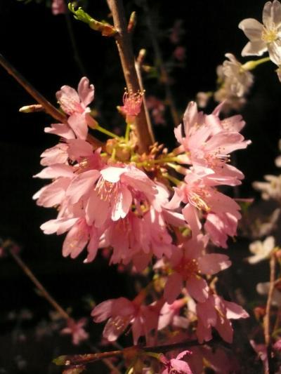 桜(勝道桜)2