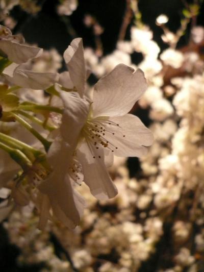 桜(緋桜)1