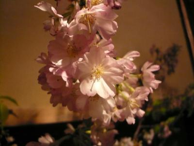 桜(大山桜)1